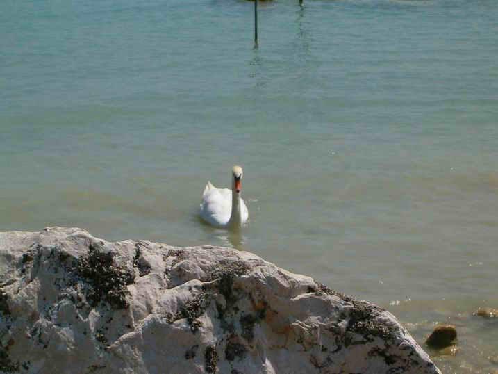 Вот и лебедь приплыл
