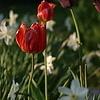 Людкины тюльпаны