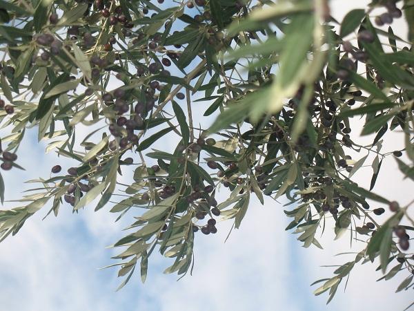 http://www.italia-ru.it/files/olive1_2.jpg